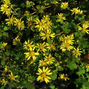 Chrysanthème //  de Nankin 'Nan Ju Hua' (Plant)