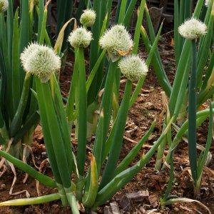 Ciboule // Géante (Plant)