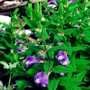 Scutellaire // à casque (Plant)