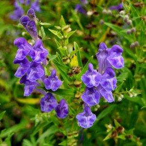 Scutellaire // Du lac Baïkal (Plant)