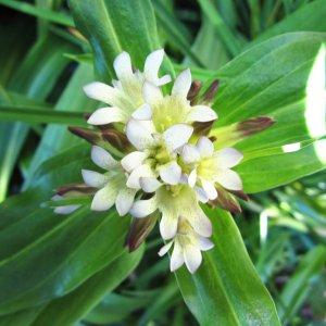 Gentiane // Blanche du Tibet (Plant)