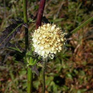 Cardère // de Chine 'Xu Duan' (Plant)