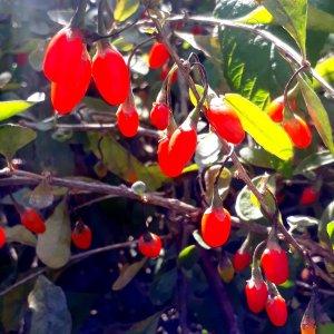 Lyciet // Goji de Barbarie 'Gu Qi Zi' (Plant)