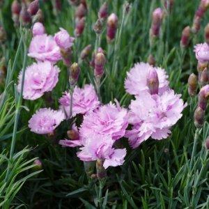 Œillet // Mignardise rose (Plant)