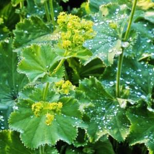 Alchémille // Manteau des Dames (Plant)