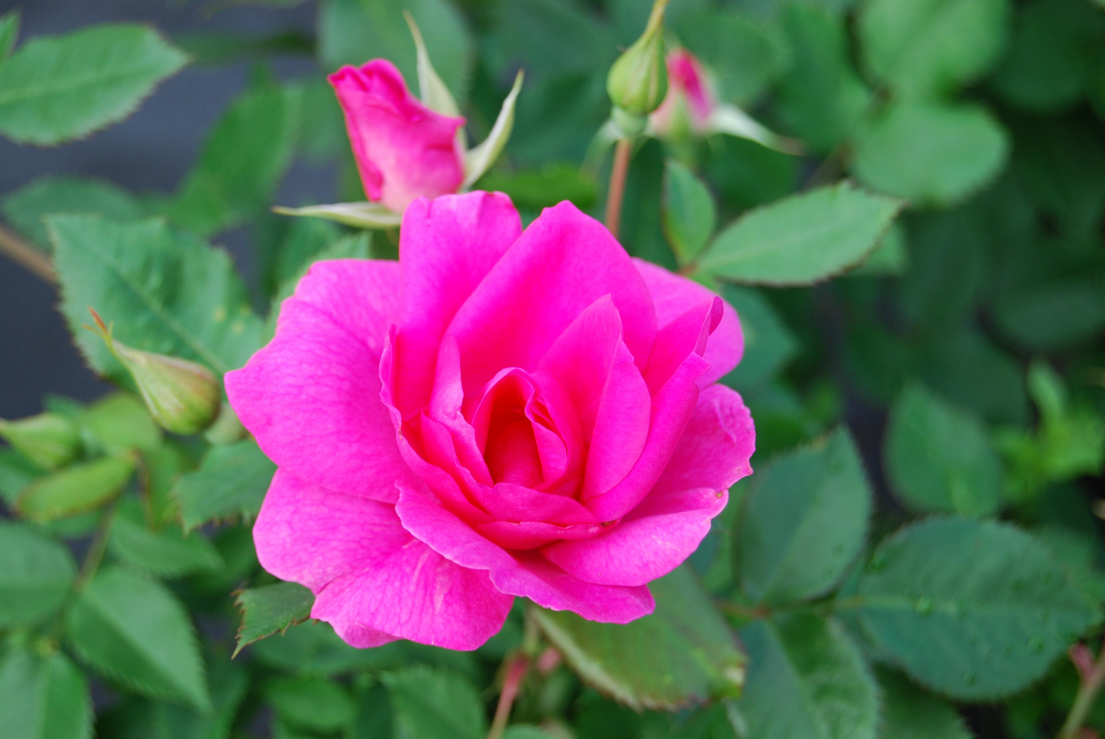 rosa felix leclerc pepiniere locas