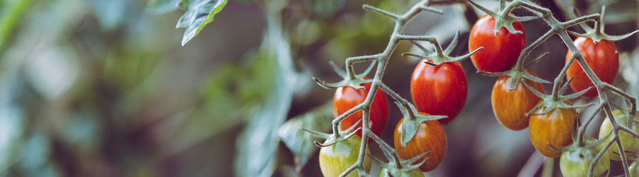 Comment Faire Des Semis De Tomates?