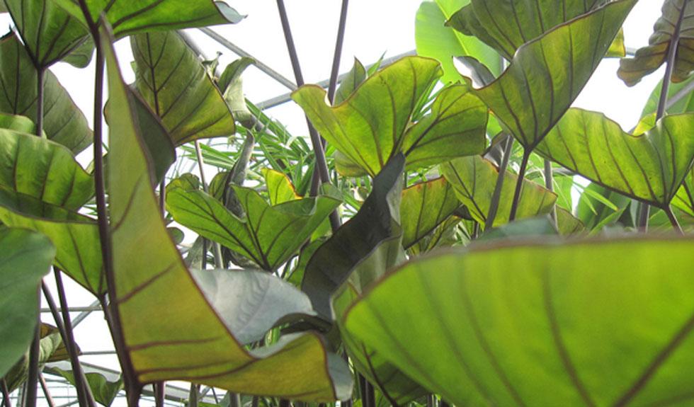 Colocasia Teacup