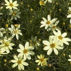 Coreopsis-Moonbean-Pepiniere-Villeneuve