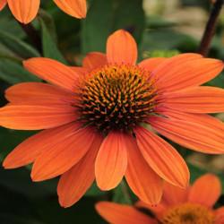 Echinacea-Sombrero-Adobe-Orange-Pepiniere-Villeneuve