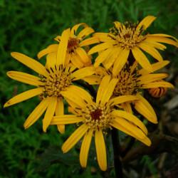 Vivaces Ligularia Britt Mary Crawford
