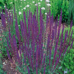 Vivaces Salvia Caradonna