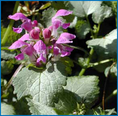 Lamium Mac Beacon Silver