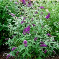 Buddleia davidii (Arbre aux papillons) - arbustes