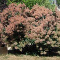 Cotinus (Arbre à perruque) - arbustes