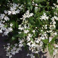 Deutzia gracilis (Deutzia gracile) - arbustes