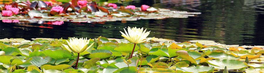 L'entretien Du Bassin Et Des Plantes Aquatiques