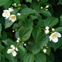 Philadelphus (Seringat) - arbustes