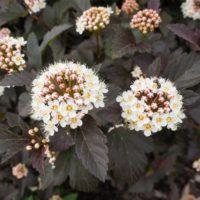 Physocarpus (Physocarpe) - arbustes
