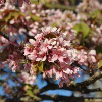 Prunus (Cerisier) - arbustes