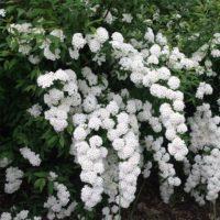 Spirea vanhouttei (Spirée Van Houtte ) - arbustes