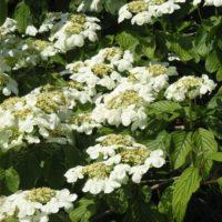 Viburnum (Viorne) - arbustes