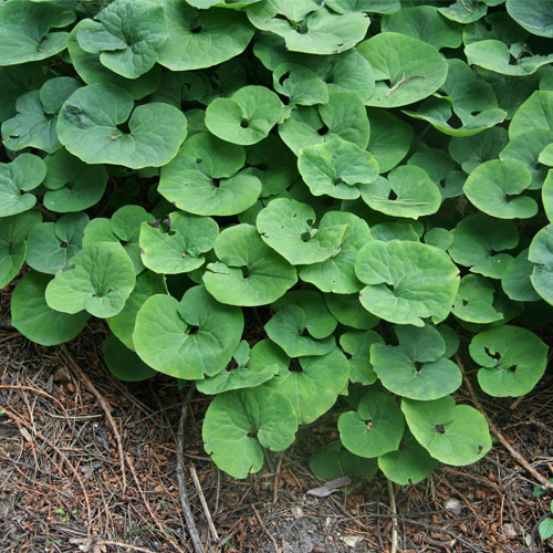 Asarum canadense (Gingembre sauvage) - vivaces