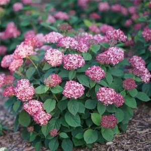 Hydrangée arborescente 'Invincibelle Ruby' - arbustes
