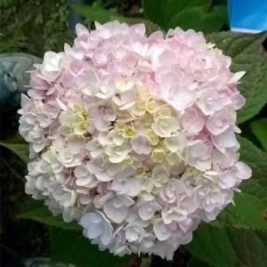 Hydrangée macrophylla 'Blushing Bride' - arbustes
