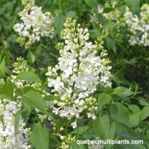 Lilas Hyacinthiflora 'Mount Baker'