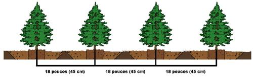 Distance de plantation de cèdres sauvageons