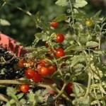 Tomates anciennes Petit Moineau