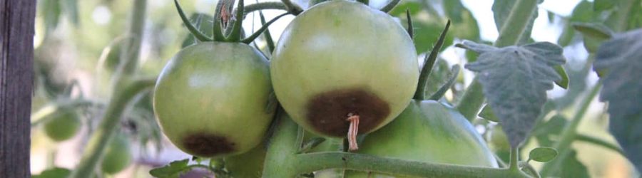 Pourriture apicale de la tomate