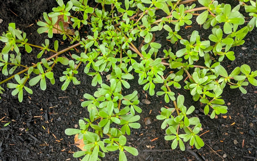 PURSLANE IS A SUPERFOOD