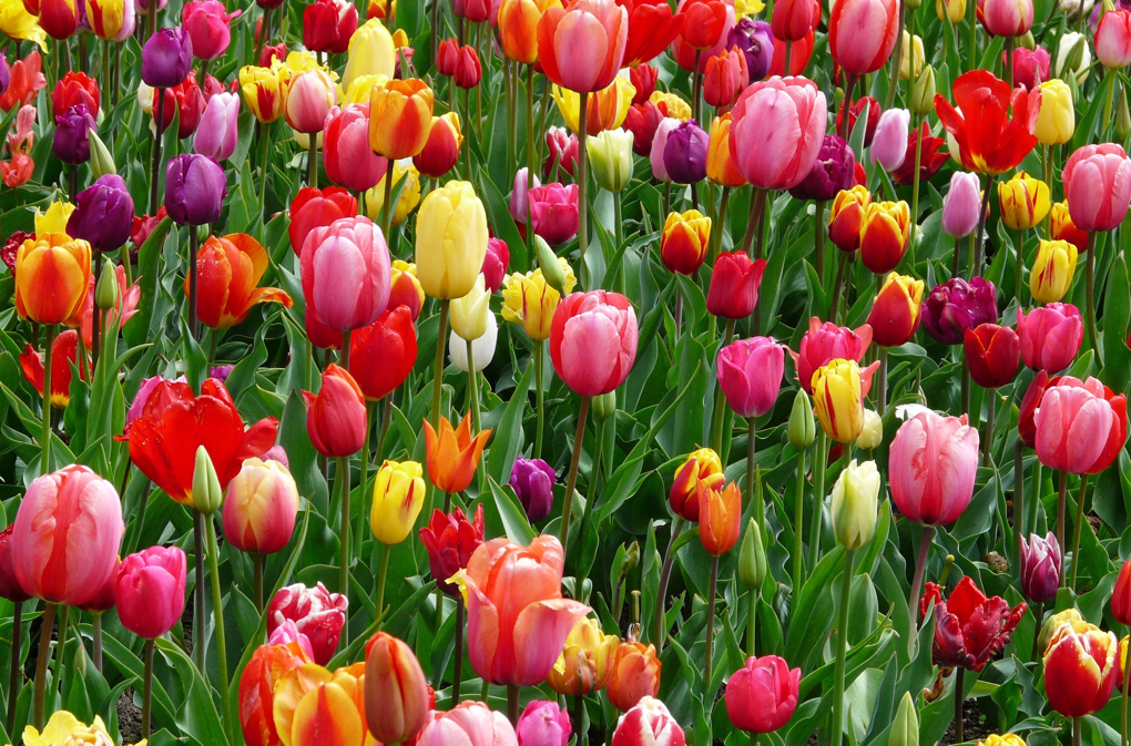1020 - bloom-blossom-colorful-69776