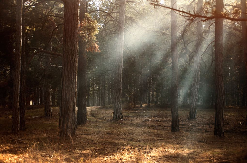 1020 - forest with sun shining through