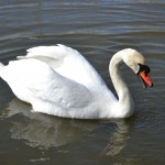 The Swan #2
