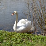 The Swan #6
