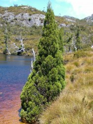Pencil pine (Athrotaxis cupressoides). Cradle Mountain-Lake St Clair National Park, Central Highlands, Tasmania. © Mike Bayly via Wikipedia