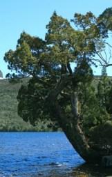 Pencil pine (Athrotaxis cupressoides). Lake Will, near Barn Bluff, Cradle Mountain-Lake St Clair National Park, Central Highlands, Tasmania. © J. Brew via Wikipedia