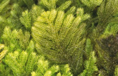 Liverworts like this Teleranea sp. can be very detailed up close. © J.P. Frahm