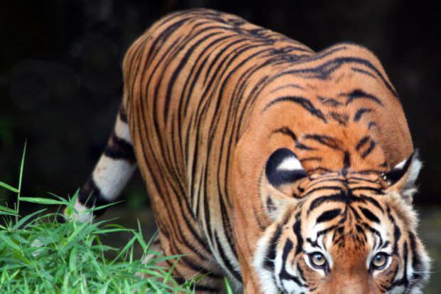 Malaysia Hadapi Isu Kepupusan Haiwan Terancam
