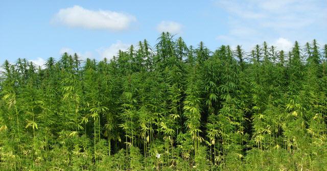 Medicinsk cannabis er en blindgyde
