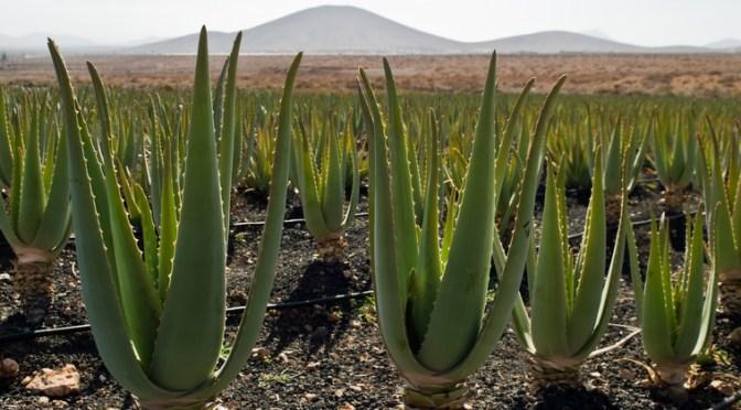 Det store plante-potentiale
