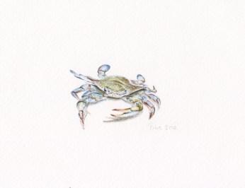 Nikolina Knežević - Mr. Crab; akvarel/drvene bojice 2016., 2014.