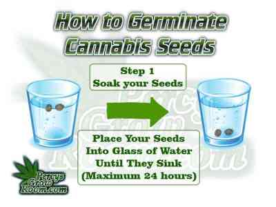 soaking cannabis seeds, how to germinate a cannabis seed, germinating cannabis seeds, Cannabis growers forum & community, How to grow cannabis, how to grow weed, a step by step guide to growing weed, cannabis growers forum, need help with sick plant, what's wrong with my cannabis plant, percys Grow Room, the Grow Room, percys Grow Guides, we'd growing forum, weed growers community, how to grow weed in coco, when is my cannabis plant ready for harvest, how to feed my cannabis plant, beginners guide to growing weed, how to grow weed for personal use, cannabis plant deficiency, how to germinate cannabis seeds, where to buy cannabis seeds, best weed growers website, Cannabis Growers forum, weed growers forum, How to grow legal cannabis, a step by step guide to growing weed, cannabis growing guide, tips for marijuana growers, growing cannabis plants for the first time, marijuana growers forum, marijuana growing tips, cannabis plant problems, cannabis plant help, marijuana growing expert advice