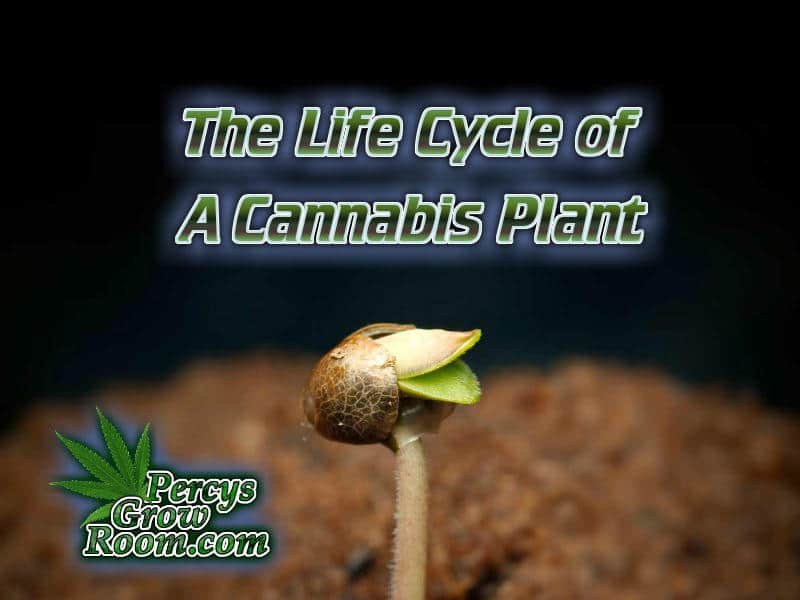 The life cycle of a cannabis plant, Vegetation, flowering, germination, harvest, Cannabis growers forum & community, How to grow cannabis, how to grow weed, a step by step guide to growing weed, cannabis growers forum, need help with sick plant, what's wrong with my cannabis plant, percy's Grow Room, the Grow Room, Cannabis Grow Guides, weed growing forum, weed growers community, how to grow weed in coco, when is my cannabis plant ready for harvest, how to feed my cannabis plant, beginners guide to growing weed, how to grow weed for personal use, cannabis plant deficiency, how to germinate cannabis seeds, where to buy cannabis seeds, best weed growers website, Learn to grow cannabis, is it easy to grow weed,, Cannabis Growers forum, weed growers forum, How to grow legal cannabis, a step by step guide to growing weed, cannabis growing guide, tips for marijuana growers, growing cannabis plants for the first time, marijuana growers forum, marijuana growing tips, cannabis plant problems, cannabis plant help, marijuana growing expert advice