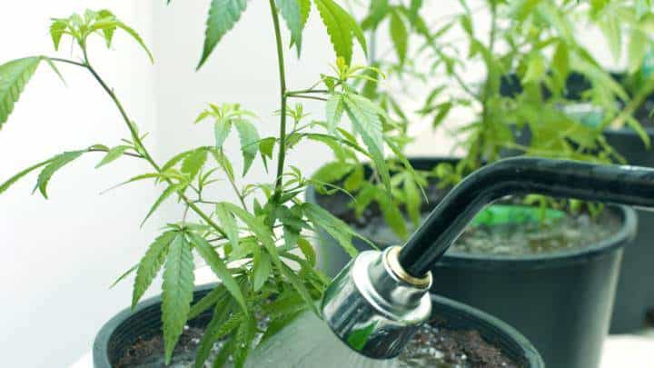 How to grow legal cannabis, a step by step guide to growing weed, cannabis growing guide, tips for marijuana growers, growing cannabis plants for the first time, marijuana growers forum, marijuana growing tips, cannabis plant problems, cannabis plant help, marijuana growing expert advice. Colourful buds