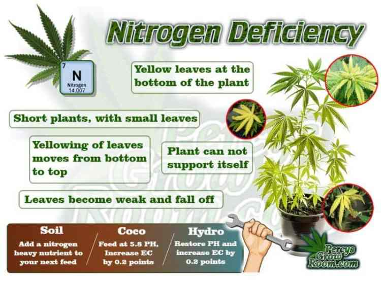Nitrogen Deficiency in a cannabis plant,