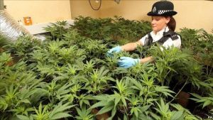police officer, cannabis plants, drug bust, How to grow legal cannabis, a step by step guide to growing weed, cannabis growing guide, tips for marijuana growers, growing cannabis plants for the first time, marijuana growers forum, marijuana growing tips, cannabis plant problems, cannabis plant help, marijuana growing expert advice.